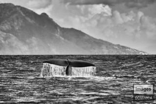 Bull sperm Whale tail