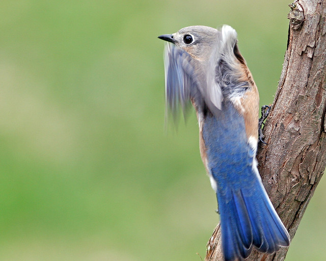 Eastern Blue Bird 20d_3213