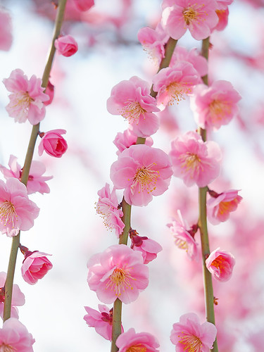 Weeping ume blossoms. 梅 真鶴枝垂(まなづるしだれ)