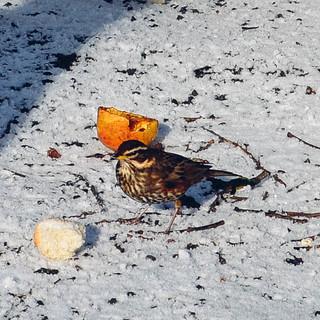 Birds in Reykjavik