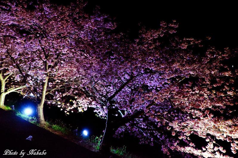 夜桜 -河津桜- by Nakabo