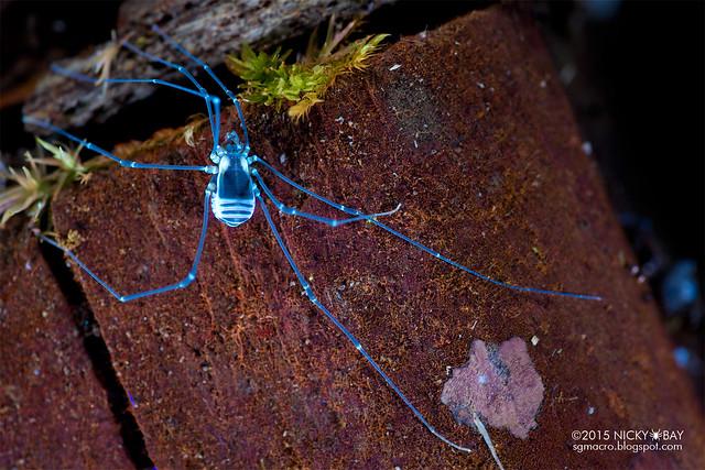 Harvestman under ultraviolet (Opiliones) - DSC_4349