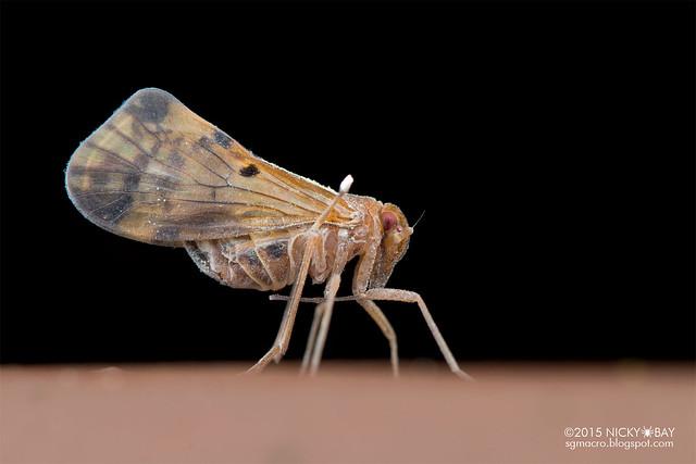 Planthopper (Fulgoromorpha) - DSC_4217