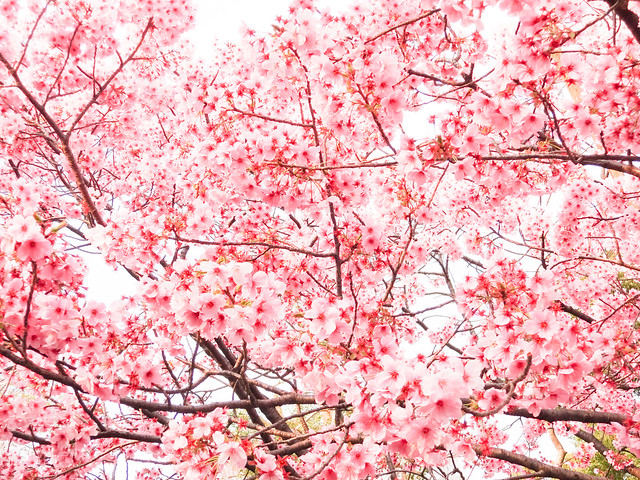 Hanami at Ueno Park 2013: Plum Blossom