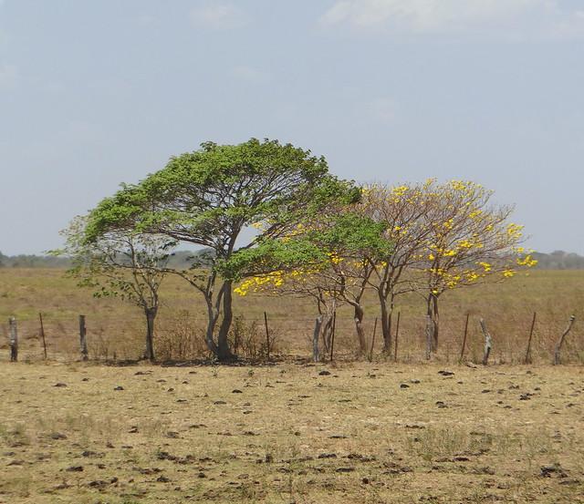 Araguaney (Tabebuia chrysantha)