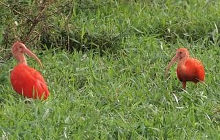 "Corocoro Rojo ""Eudocimus ruber""."