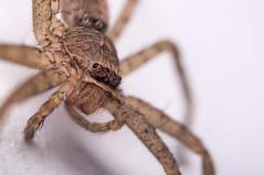 european garden spider(0.0), arthropod(1.0), animal(1.0), spider(1.0), invertebrate(1.0), macro photography(1.0), fauna(1.0), close-up(1.0), tarantula(1.0), wolf spider(1.0),
