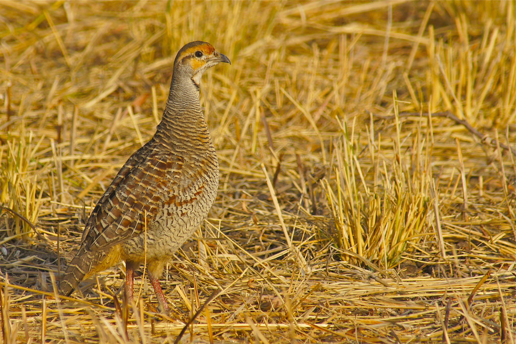 Grey Francolin, Velavadar National Park, India