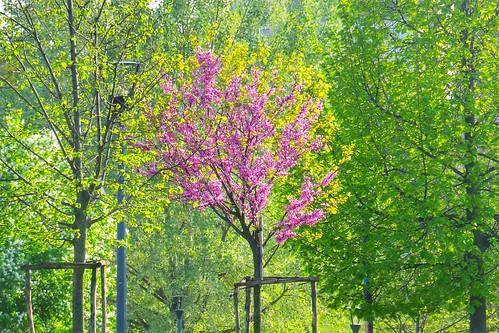 Tra gli alberi verdi #primavera c'è il rosa by Ylbert Durishti