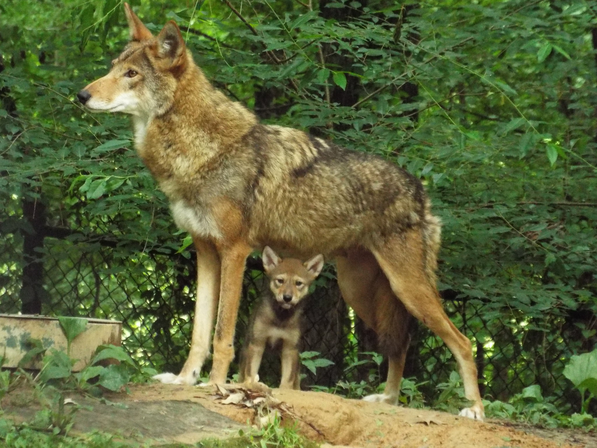 Red Wolf Pup & Mom