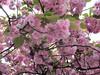 Blossoms by Claudecf