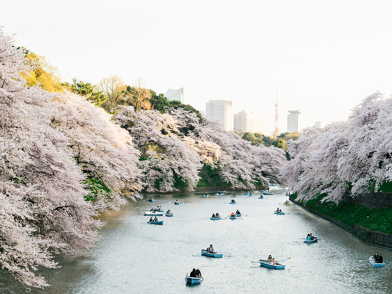 Chidorigafuchi during the cherry blossom season