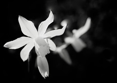 Narcissus bw