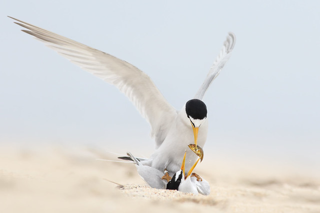 Least Tern Courting/Mating Series 4/10