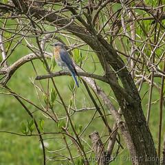 Eastern Bluebird (Merlebleu de l'Est)