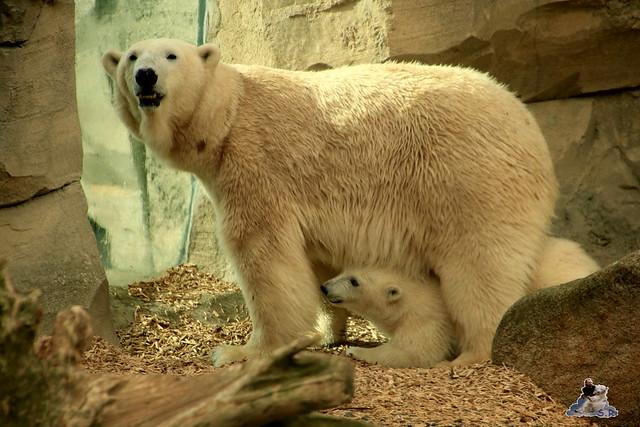 Eisbär Lili im Zoo am Meer Bremerhaven 14.05.2016 Teil 2 0101