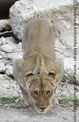 African lion Panthera leo