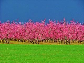 Alemond trees