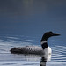 The common loon by danielfj91
