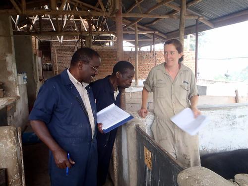 Pig feed trials, Kamuzinda