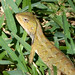 Small photo of Calotes versicolour. Agamid Lizard