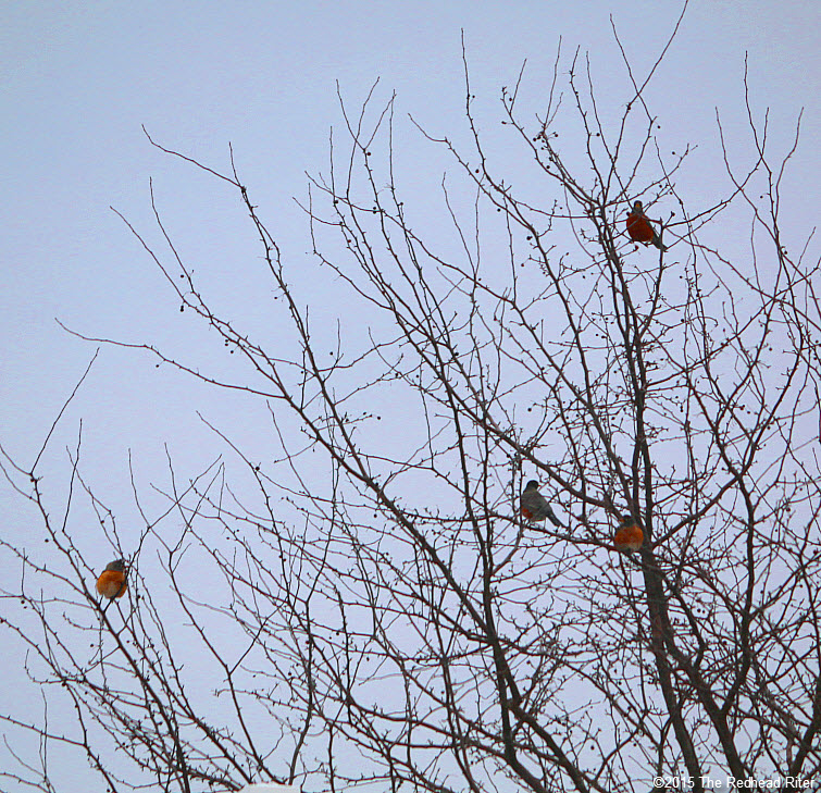 many American Robin redbreast birds in tree Birds Of A Feather Flock Together 2