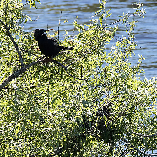anhi-m-f-nest-sawgrasslakepark-3-17-15-tl-1-cropscreen-lowres