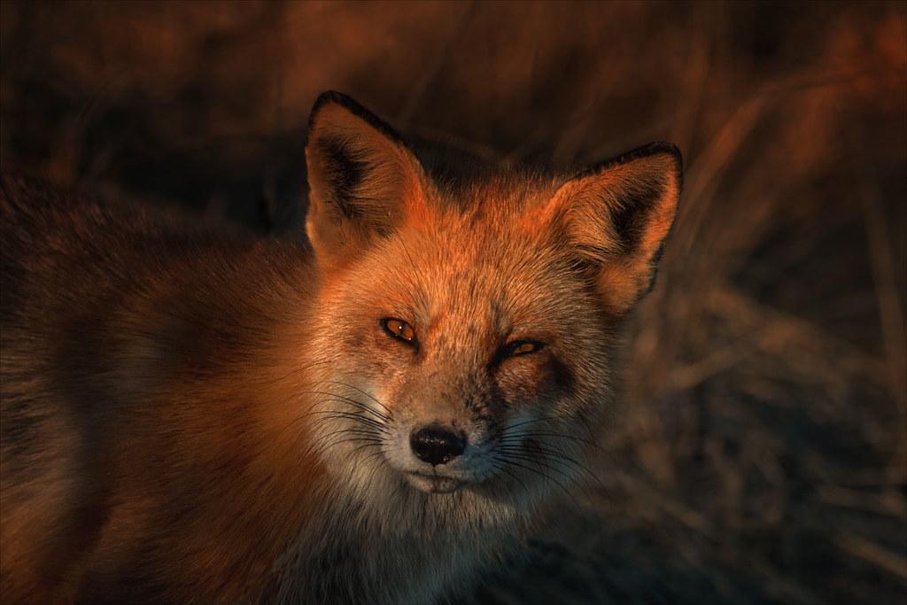 Fox-goes-Phloof
