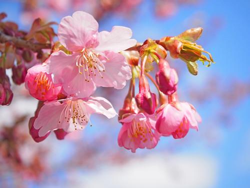Cherry blossoms, 桜咲く.