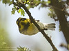 FOY Townsend's Warbler