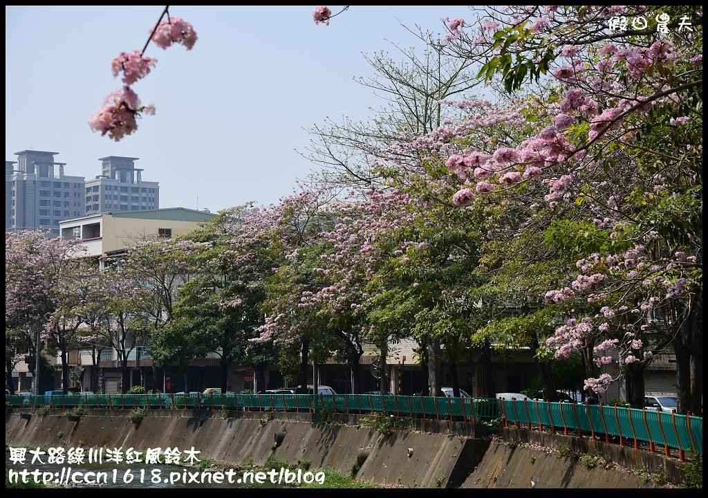 興大路綠川洋紅風鈴木DSC_2277
