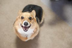 puppy(0.0), dog breed(1.0), animal(1.0), dog(1.0), shiba inu(1.0), pet(1.0), mammal(1.0), pembroke welsh corgi(1.0), close-up(1.0), welsh corgi(1.0),