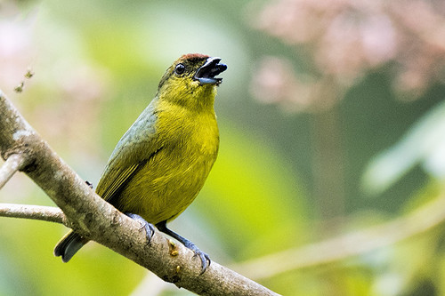 Pico Bonito: Olive-backed Euphonia