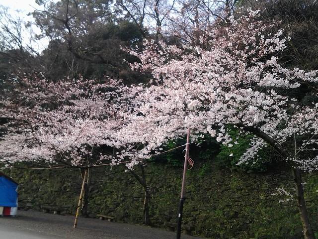 9805和歌山城的櫻花