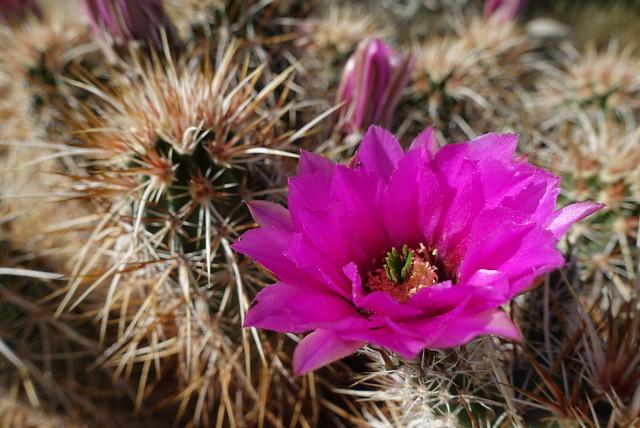 Cactus Flower, m212