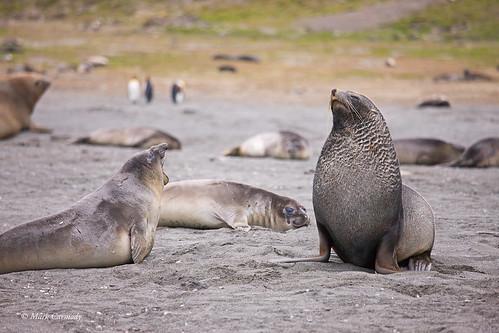 Southern Elephant Seal (Mirounga leonina) bellowing at an Antarctic Fur Seal (Arctocephalus gazella)