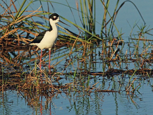 Black-necked Stilt 06-20150315