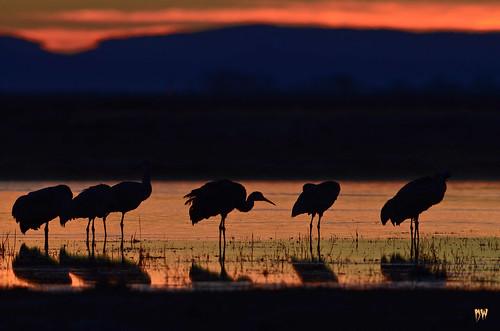 bird water sunrise freedom pond colorado legs sandhillcrane alamosa montevistacranefestival