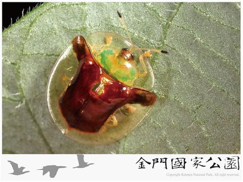 金盾龜金花蟲-02