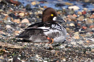 2015-03-26 Common Goldeneye Duck (01) (1024x680)