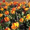 Tulips #latergram #spring