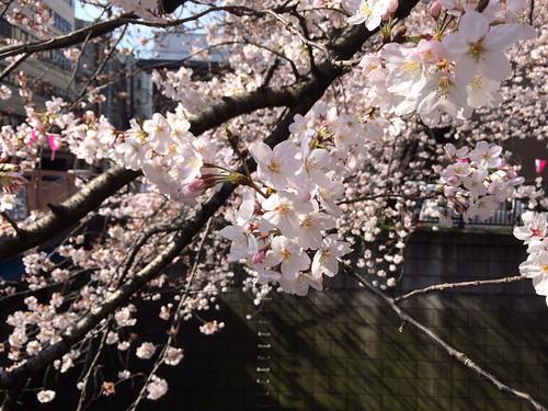 目黒川 中目黒 2015/3/29 朝9時ごろ