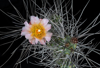 Tephrocactus paedophila_3