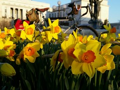 Delicious daffodils in spring. #30daysofbiking