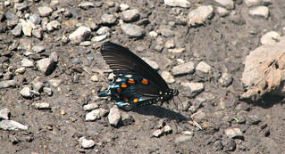 Battus philenor (pipevine swallowtail butterfly) (Mercer County, West Virginia, USA) 1