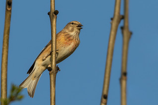 Linnet singing