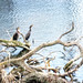 Small photo of A Pair of Cormorants