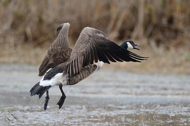 Goose Taking Flight
