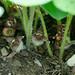 Wild Ginger - Asarum canadense by TLC 4U2C