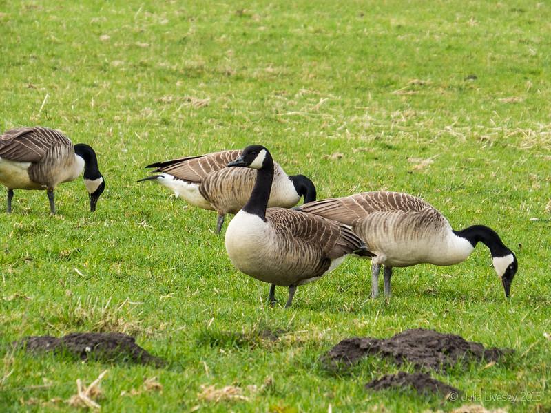 Canda Geese grazing